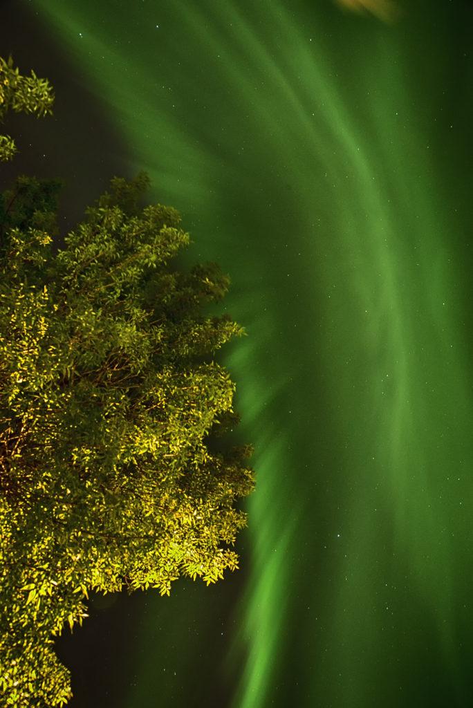 tree with aurora behind it